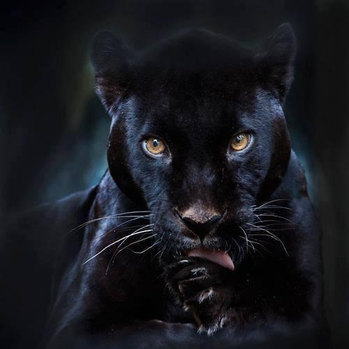 black jaguar spiritual warrior path